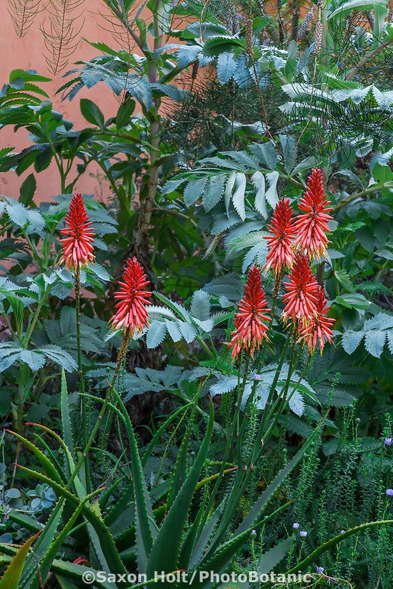 Aloe arborescens red flower Torch Aloe in front of foliage of Honey Bush - Melianthus major in Nan Sterman Garden