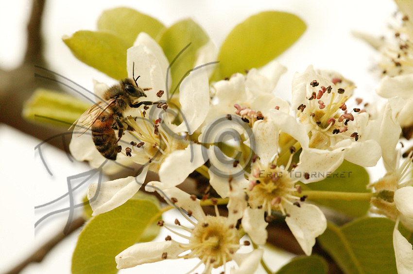 Pear trees bloom from mid-March to May. The pear flower is not really attractive to bees but its early blooming makes up for its poverty for bees in need of pollen to feed the brood.