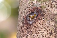 Amazonian Pygmy Owl - Glaucidium hardyi