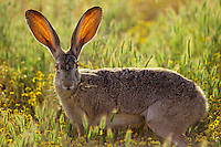 Black-tailed jackrabbit (Lepus californicus),  Western U.S.  Note:  Blood vessels in ears help keep jackrabbit cool--method of dissipating heat.