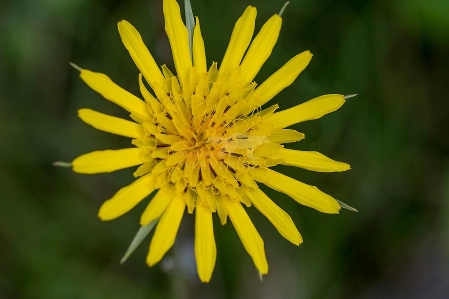 Gele morgenster (Tragopogon pratensis subsp. pratensis)