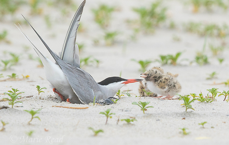 Common Tern (Sterna hirundo), adult making nest scrape, two chicks nearby, Long Island, New York, USA