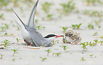 Common Tern (Sterna hirundo), adult making nest scrape, two chicks nearby, Long Island, New York, USA