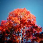 Autumn turned red tree against blue sky