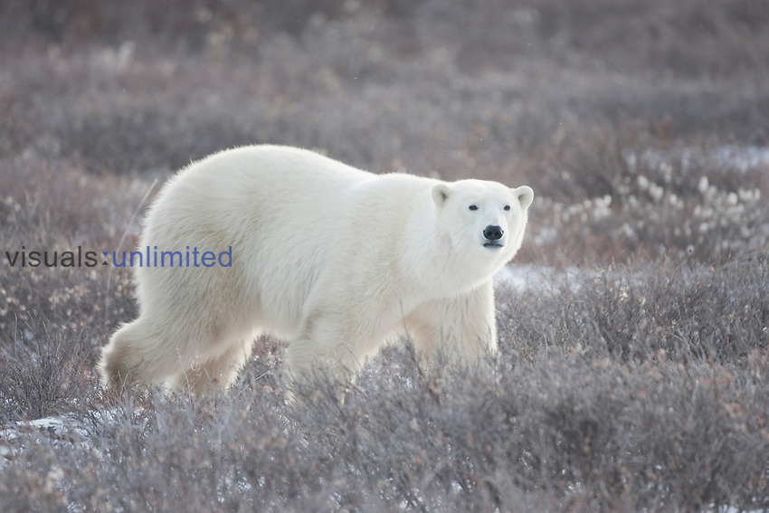 Polar Bear (Ursus maritimus) walking through Dwarf Willows. Churchill, Manitoba, Canada