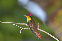 Ruby Topaz - Chrysolampis mosquitus
