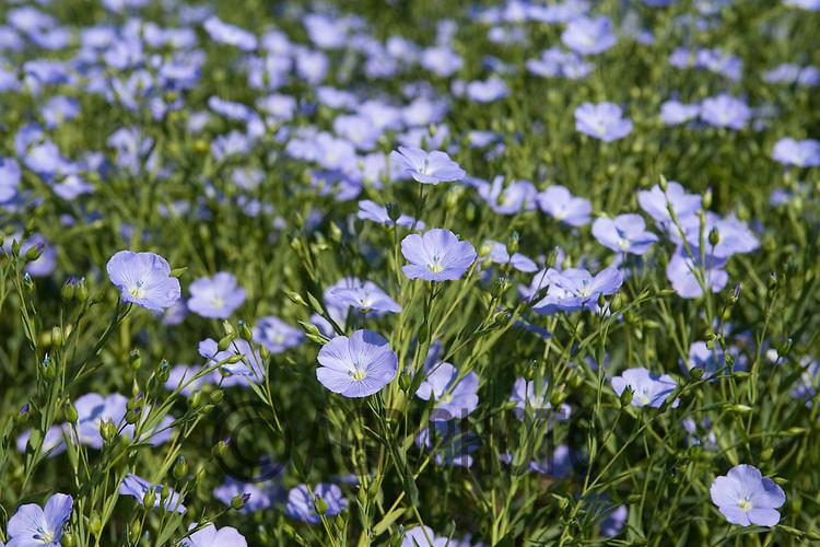 LInseed In Flower