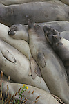 elephant seal juveniles sleeping at Ano Nuevo SR
