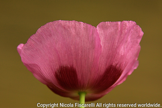 A close-up of a purple colored poppy (papaver orientale) flower.