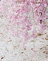 Weeping cherry blossom hangs over a sea of pale pink fallen petals in the Shosei-en garden, Kyoto