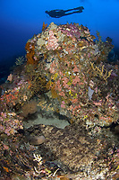 Adult Tasselled Wobbegong or Carpet shark Eucrossorhinus dasypogon ambushing prey while displaying cryptic livery, camouflage, with diver in the background Cape Kri, Raja Ampat, West Papua, Indonesia