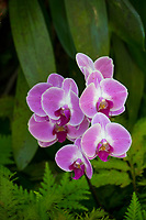 Purple orchids in bloom at Hawaii Tropical Botanical Garden near Onomea Bay in Papa'ikou near Hilo, Big Island of Hawai'i.