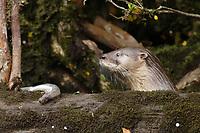Chilean river otter, southern river otter, huillin, Lontra provocax, Chiloe Island, Chile