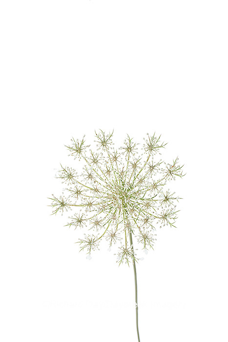 30099-00618 Queen Anne's Lace (Daucus carota) (high key white background) Marion Co. IL