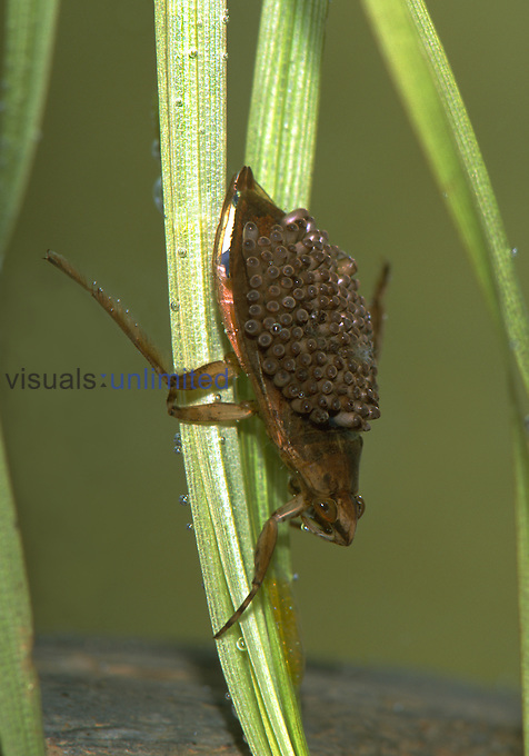 Giant Water Bug with eggs on back, Family Belostomatidae