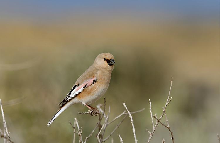 Desert Finch - Rhodospiza obsoleta