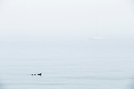 Common Eider (Somateria mollissima) mother with chicks in fog, Gloucester, Cape Ann, eastern Massachusetts