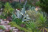 Agave americana 'Marginata' Variegated Century Plant and Yucca aloifolia, Spanish Daggers by wooden steps in Debra Lee Baldwin Southern California hillside backyard garden
