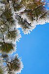 Frosted tips of ponderosa pine needles and a brilliant blue sky