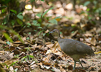 Birders love the great tinamou, a forest chicken.