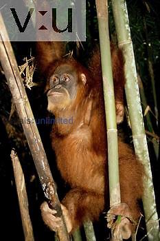 An Orangutan in a rehab center. (Pongo pygmaeus) Indonesia
