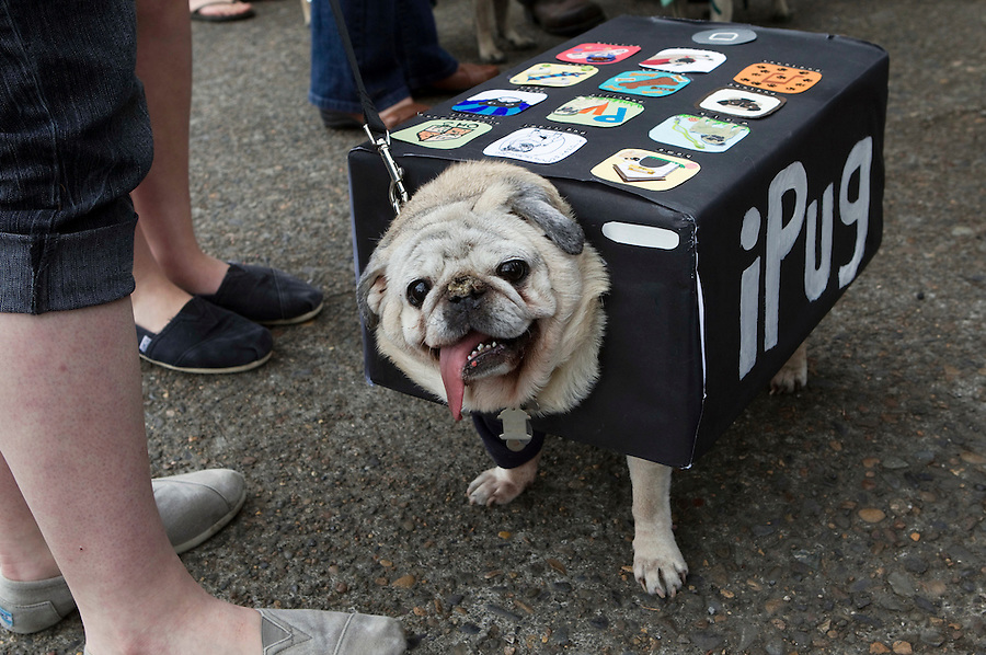 An iPug waits in a line to walk the runway and compete in the Parade of Pugs contest, organized by the Oregon Human society. Last year's Pug Crawl raised more than $8,000 for the animals at OHS, which is the Northwest's oldest and largest humane society.