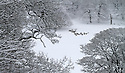 21/01/13..After heavy overnight snow, deer huddle under snow-laden trees at Chatsworth House, in The Peak District, near Bakewell, Derbyshire. ..All Rights Reserved - F Stop Press.  www.fstoppress.com. Tel: +44 (0)1335 300098.
