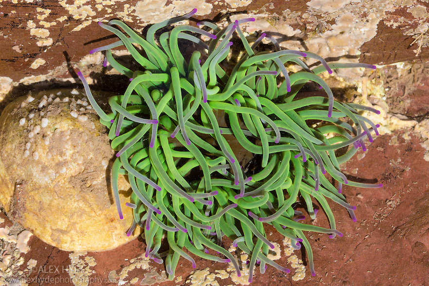 Snakelocks Anemone {Anemonia viridis}, green form. Found in a rockpool, Devon, UK. June.