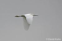 0201-08yy  Flying Snowy Egret, Egretta thula © David Kuhn/Dwight Kuhn Photography