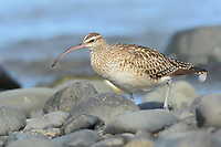 Bristle-thighed Curlew (Numenius tahitiensis) feeding in intertidal zone during migration. Kenai Peninsula, Alaska. May.