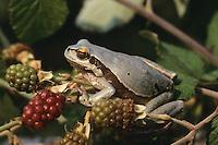 Europäischer Laubfrosch, graue Variation, Laub-Frosch, Frosch, Hyla arborea, European treefrog, common treefrog, Central European treefrog