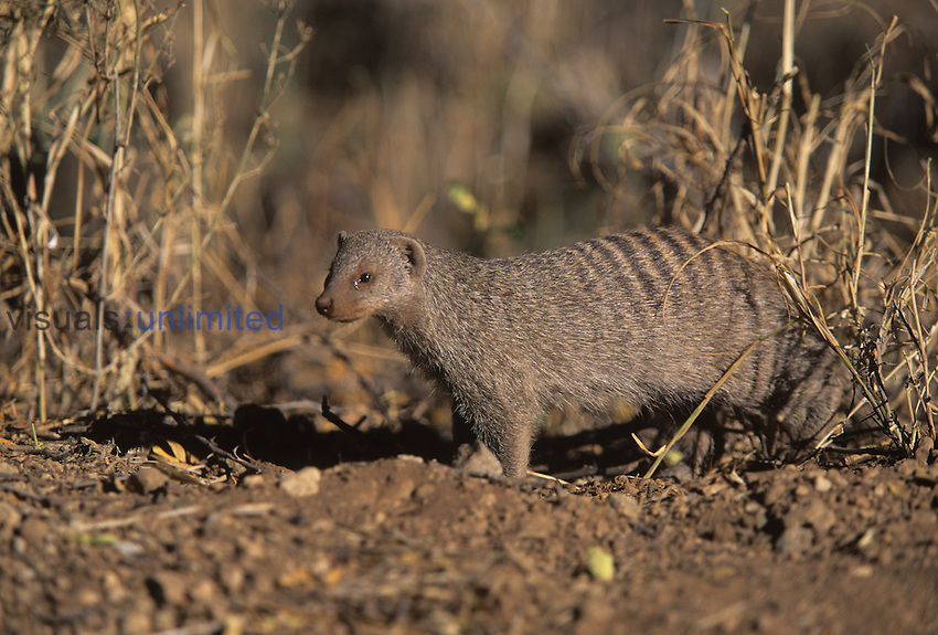 Banded Mongoose (Mungos mungo), a social species that lives in groups of about 30 animals, Namibia.