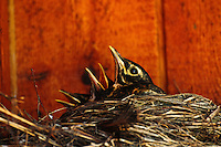 Three robin red breast chicks in the nest with mouths wide open squawking to be fed