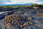 Lava cactus on Fernandina Island in the Galapagos National Park, Galapagos, Ecuador, South America