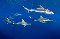 Caribbean reef shark, Carcharhinus pereziii, Gardens of the Queen, Jardines de la Reina, Jardines de la Reina National Park, Cuba, Caribbean Sea, Atlantic Ocean