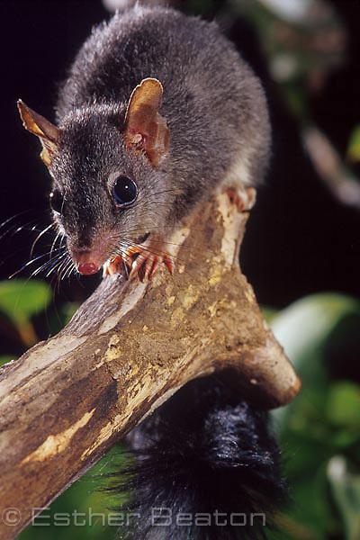 Tuan or Brush-tailed Phascogale (Phascogale tapoatafa), northeastern NSW