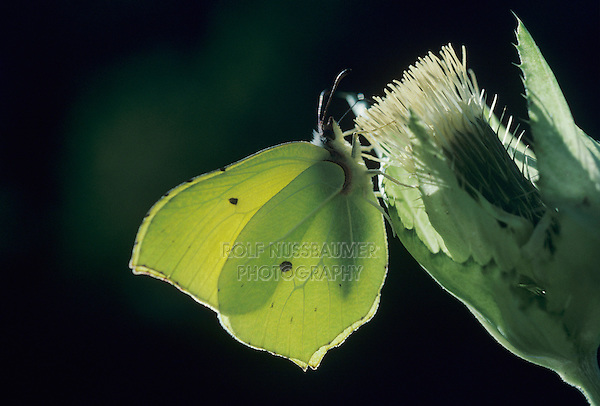 Common Brimstone, Gonepteryx rhamni, male on Bull Thistle (Cirsium vulgare) , Oberaegeri, Switzerland, March 1994