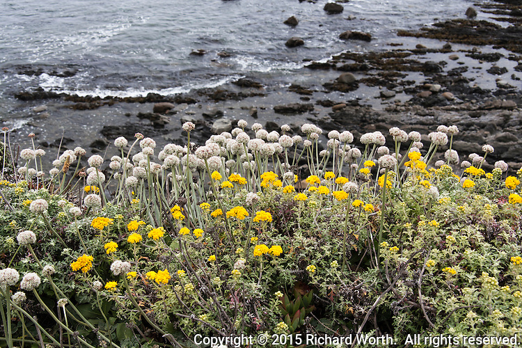 The yellow flowers of Lizard Tail and the round puffy tops of coast buckwheat identify these two plants as natives of the California Coast.  Spotted along a trail at Bean Hollow State Beach.