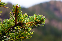 Pine branch on hiking trail near Red River, New Mexico.