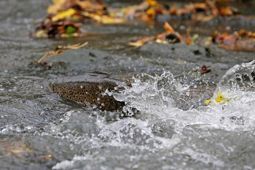 Sea Trout (Salmo trutta), Denmark, Bornholm, Bornholm creek