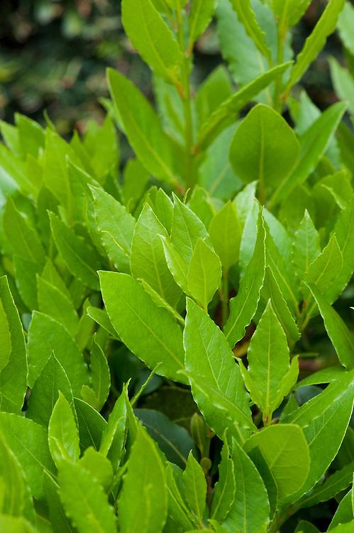 Sweet bay (Laurus nobilis), mid May.