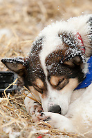 A Tim Hunt dog sleeps at McGrath on Thursday afternoon    Iditarod 2009