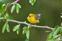 Prothonotary Warbler (Protonotaria citrea), adult female, South Padre Island, Texas, USA