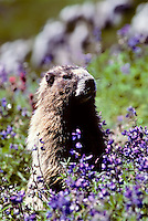 Hoary Marmot, Mount Rainier National Park, Washington