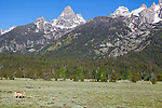 Grand Teton National Park, Wyoming. Pronghorn antelope grazing in Grand Teton National Park