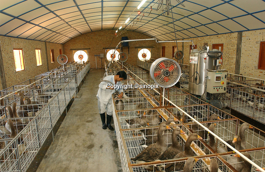 Geese are force fed at a farm in one of ten warehouses that house thundreds of geese near Beihai, Guangxi. Foie Gras, the French delicacy, made from the liver of geese that have been force fed is now being produced by an enterprising Chinese businessman. ..PHOTO BY SINOPIX