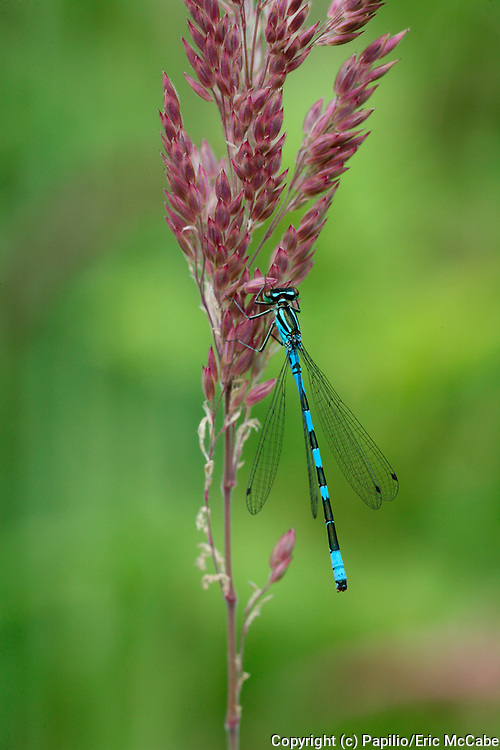 Northern Damselfly, Coenagrion hastulatum male resting by Perthshire pond<br /> nature<br /> wildlife<br /> british<br /> britain<br /> Scotland<br /> insect<br /> odonata<br /> damselfly<br /> male<br /> blue<br /> Coenagrion hastulatum<br /> Coenagrion<br /> UK<br /> pond<br /> loch<br /> lochan