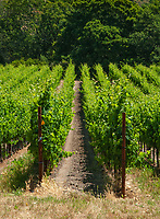 Vine rows on trelis systems line up to a hillside of trees, Los Carneros region, Sonoma County, California