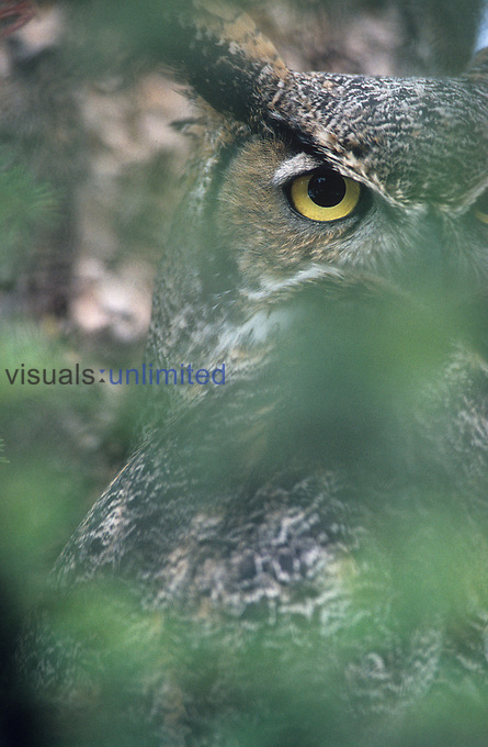 Great Horned Owl in thick vegetation ,Bubo virginianus,, North America.