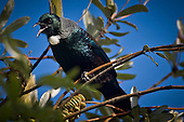 A Tui sings while perched in a Banksia tree at Bombay, Auckland New Zealand.